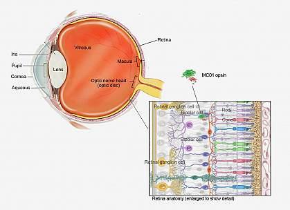 Illustration of eye cross section