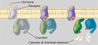 Hormones bind to receptors on the surface of cells, causing a cascade of chemical reactions inside the cell