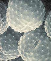Picture of ragweed pollen grains under the microscope