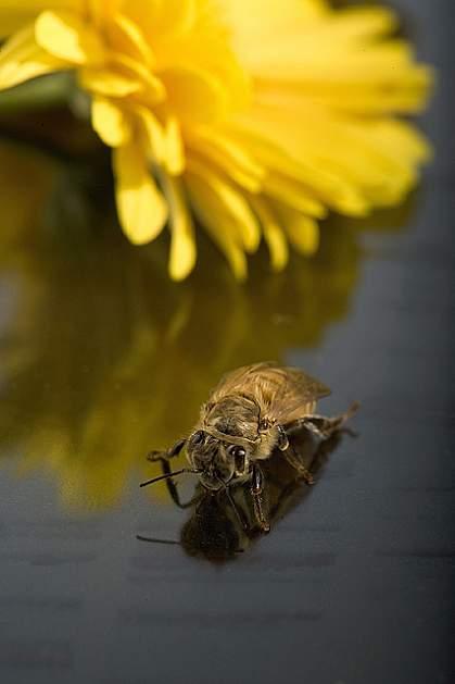 Newly emerged honey bee