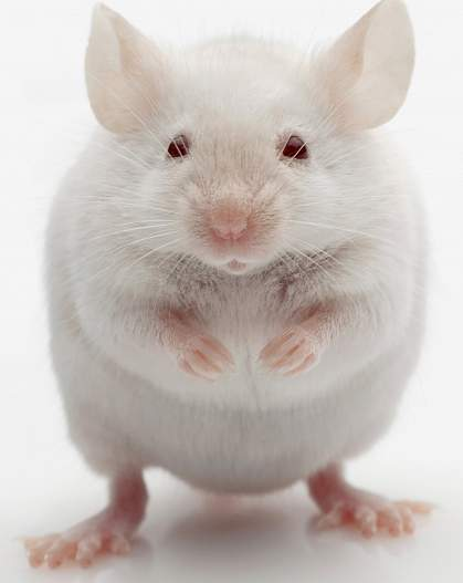 Photo of a white mouse