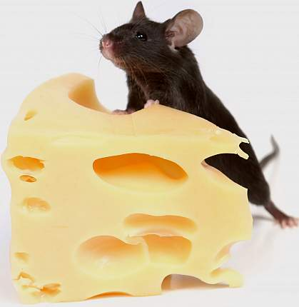 Picture of a mouse standing on a block of Swiss cheese
