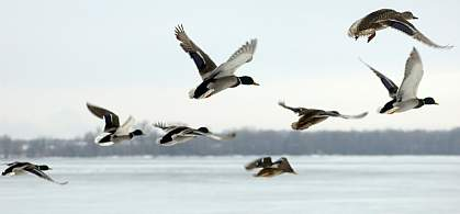 Waterfowl flying over a lake
