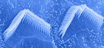 Tubular stereocilia on hair cell surface arranged in three rows of increasing heigh