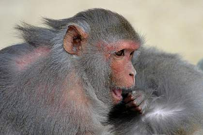 a photo of a rhesus macaque searching for pests on a mate