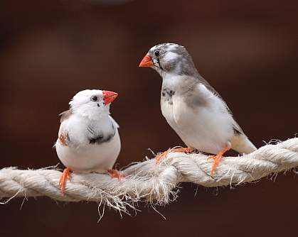 Photo of two zebra finches