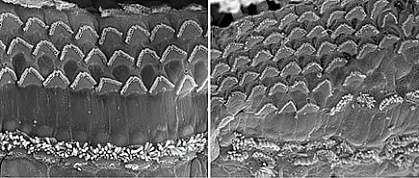 Two panels of cells with V-shaped clusters of microscopic hair-like structures on their surfaces. The right panel shows more hair cells crowded together