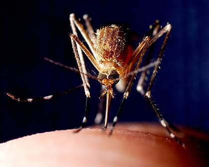 Photo of a mosquito feeding on finger