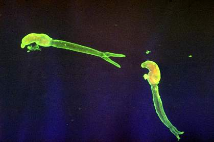 Image of long, glowing flatworms