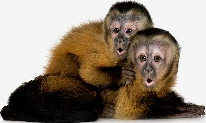 Photo of two capuchin monkeys