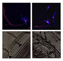 Image panel shows that atlastin/RHD3 deficiency causes shortening of rat neurons and short, wavy root hairs in a plant