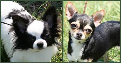 Photos of long-haired and  short-haired Chihuahuas