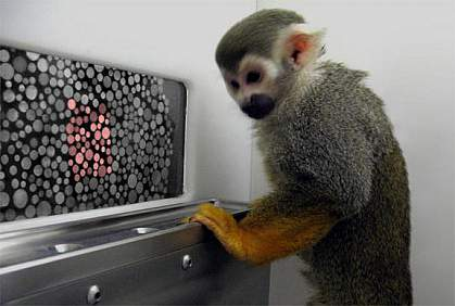 Monkey ponders computer screen with cluster of red dots among gray ones