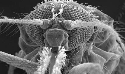 Electron micrograph of a mosquito head