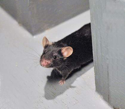 Photo of a mouse in a T-maze