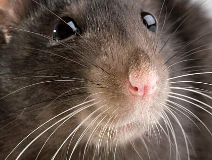 Photo of a rat