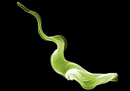 Scanning electron micrograph of a trypanosome parasite