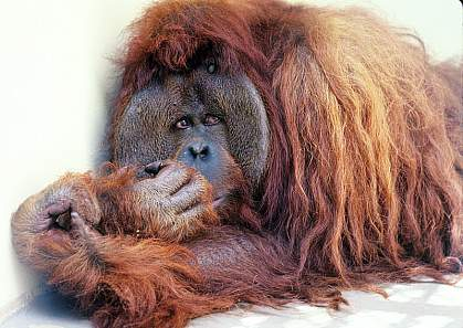 Photo of an orangutan.