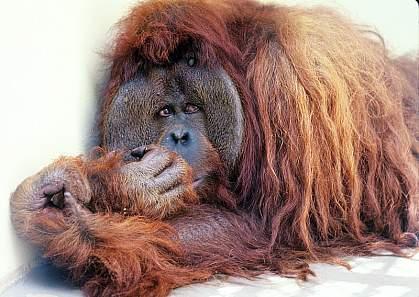 Photo of an orangutan.
