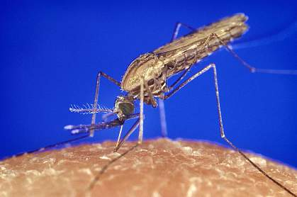 Close-up photo of a mosquito on skin