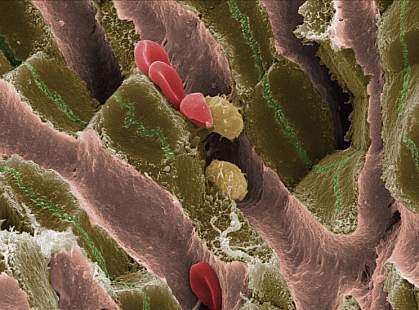 Scanning electron micrograph shows red blood and other cells in a mouse liver