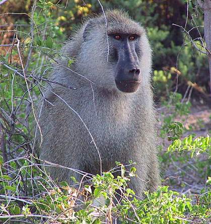 Photo of a male baboon
