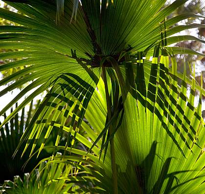 Photo of saw palmetto leaves.