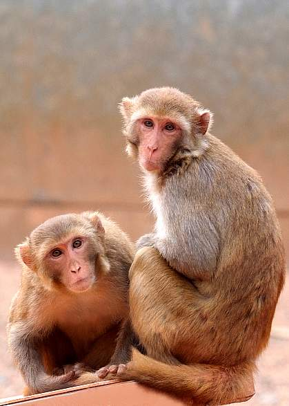 Two macaques.