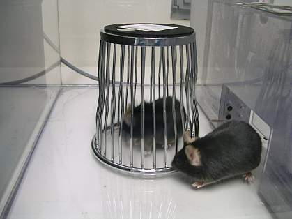 A mouse sniffing another in a cage.