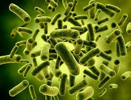 Rod-shaped bacteria.