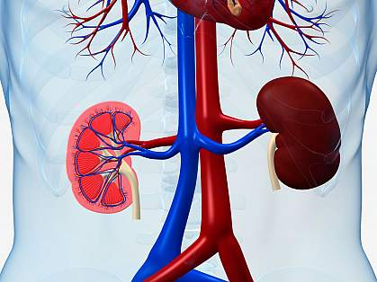 Illustration of kidneys within the body