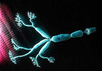 Long axon fibers of a motor neuron.