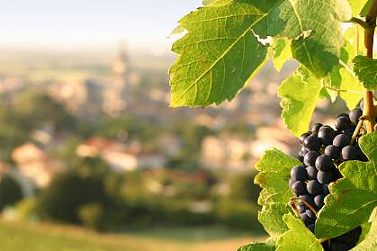 Photo of grapes.