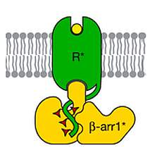Illustration of arrestin on a cell membrane.