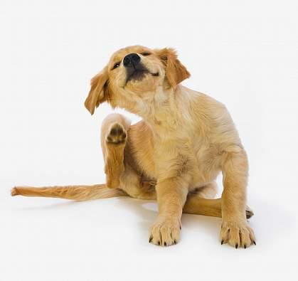Golden Retriever puppy scratching.