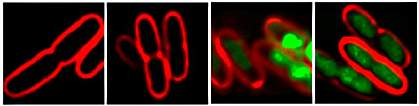 Four images of bacterial cells. While the left two appear empty, the right two glow green.