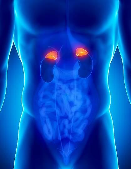 Adrenal glands.