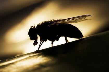 Fruit fly.
