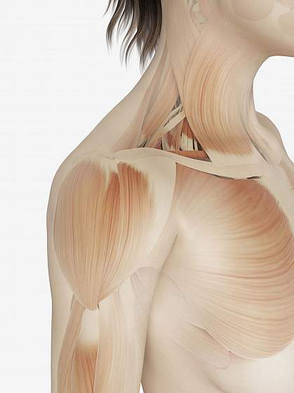 Illustration of muscle fibers.