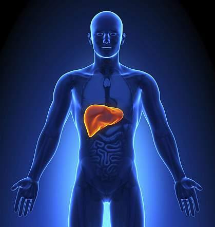 Illustration of a liver.