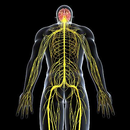 Illustration of the body's nervous system.