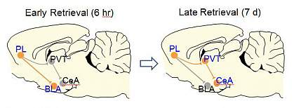 Brain circuit illustrations.