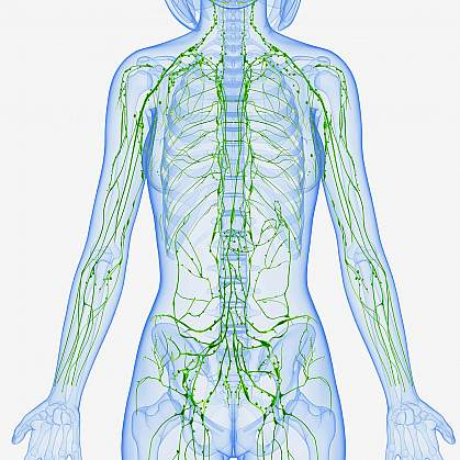 Illustration of the lymphatic system.