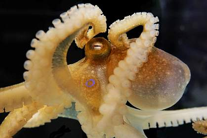 Scientists sequenced and analyzed the genome of the California two-spot octopus