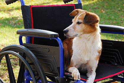 A dog sitting in a wheelchair
