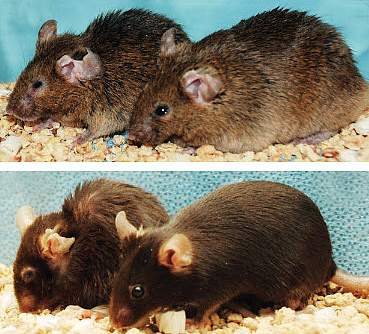 Two pairs of mice, with right ones looking younger and healthier.