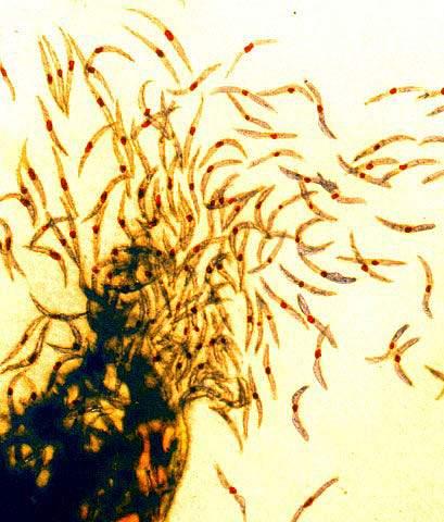 Malaria sporozoites