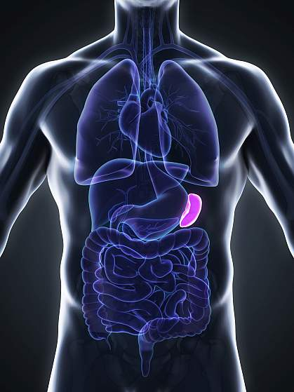 Illustration of spleen in human body,