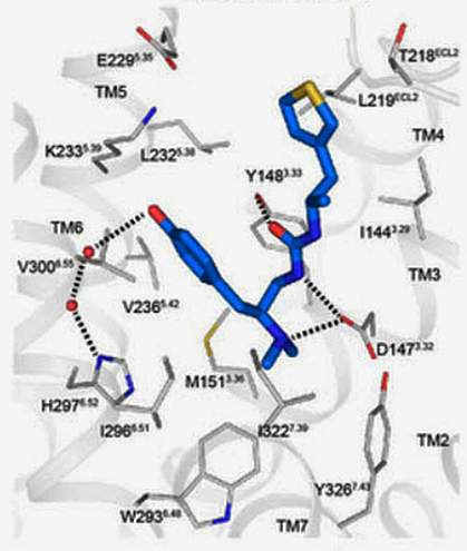 A computer model of the synthesized pain relieving compound PZM21 (blue) docked with the mu opioid receptor (grey).