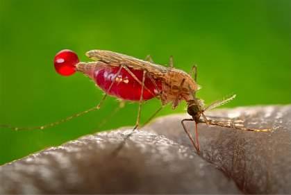 A feeding Anopheles gambiae mosquito